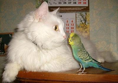 Как ужиться коту и попугаю